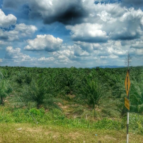 palm oil field