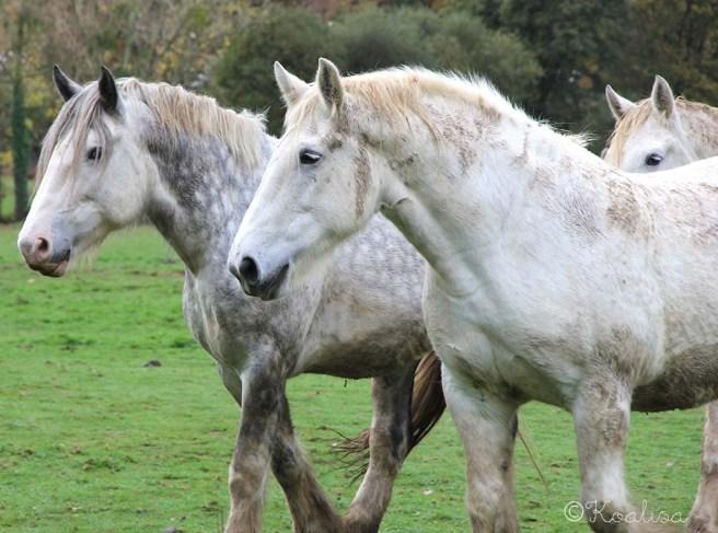 chevaux3